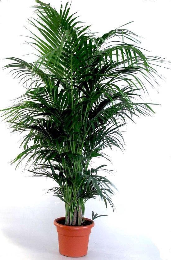 Howea Forsteriana; Totale hoogte 130-150cm hoogte incl. Ø 22 cm pot | Kentia palm ( Ideaal voor binnen )