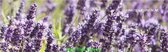 Lavendel Hidcote Set 12 stuks