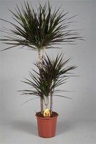 Kamerplant - Dracaena Marginata - 60-30-15cm stam - Ø pot 21cm - ↑ 110-120cm