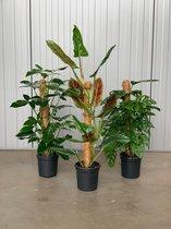 Trendy kamerplanten - Mix van 3 mosstokken: Syngonium trileaf wonder, Philodendron Subhastatum en Monstera monkey leaf Ø17 (t.w.v. €87,85)