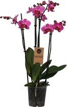 Orchidee | Phalaenopsis 4 tak Paars