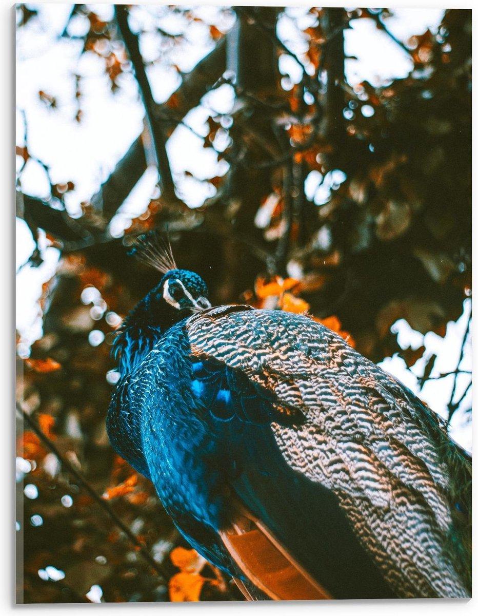 Plexiglas - Pikkende Pauw in Vacht - 30x40cm Foto op Plexiglas (Wanddecoratie op Plexiglas)