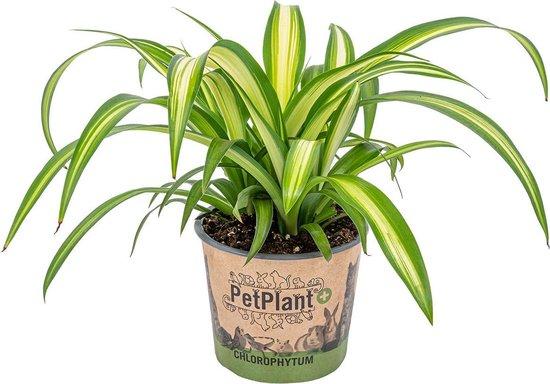 Graslelie | Chlorophytum 'Hawaiian' per stuk - PetFriendly - Kamerplant ⌀12 cm - ↕25 cm