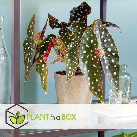 Plant in A Box - Begonia Wightii Polkadot - Stippenbegonia - Pot ⌀14 cm - Hoogte ↕ 30 - 40cm