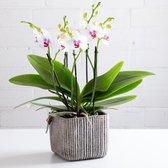 Orchidee | Multiflower Wit/Roze