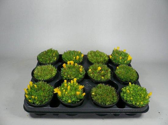 Sedum - Delosperma geel - 12 stuks (9cm, rotsplanten)
