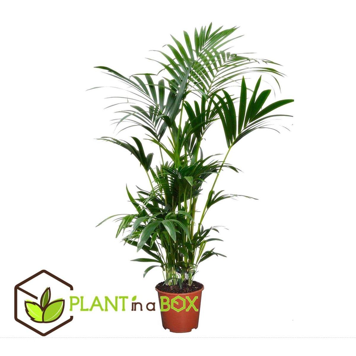 PLANT IN A BOX Kentia Palm - Howea Forsteriana - kamerplant - pot  19 cm - Hoogte   90cm