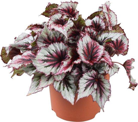 Begonia 'Evening Glow' - Bladbegonia - Roze wit - ↑25-30 cm - Ø12 cm