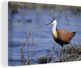 Mooie Afrikaanse jacana komt aan bij het water Canvas 140x90 cm - Foto print op Canvas schilderij (Wanddecoratie woonkamer / slaapkamer)