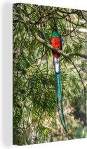 Quetzal in het regenwoud van Panama Canvas 80x120 cm - Foto print op Canvas schilderij (Wanddecoratie woonkamer / slaapkamer)