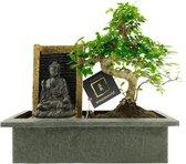 Bonsaiworld Bonsai Boeddha Waterval Set - 10 jaar oud - ↕️ 30-35 cm
