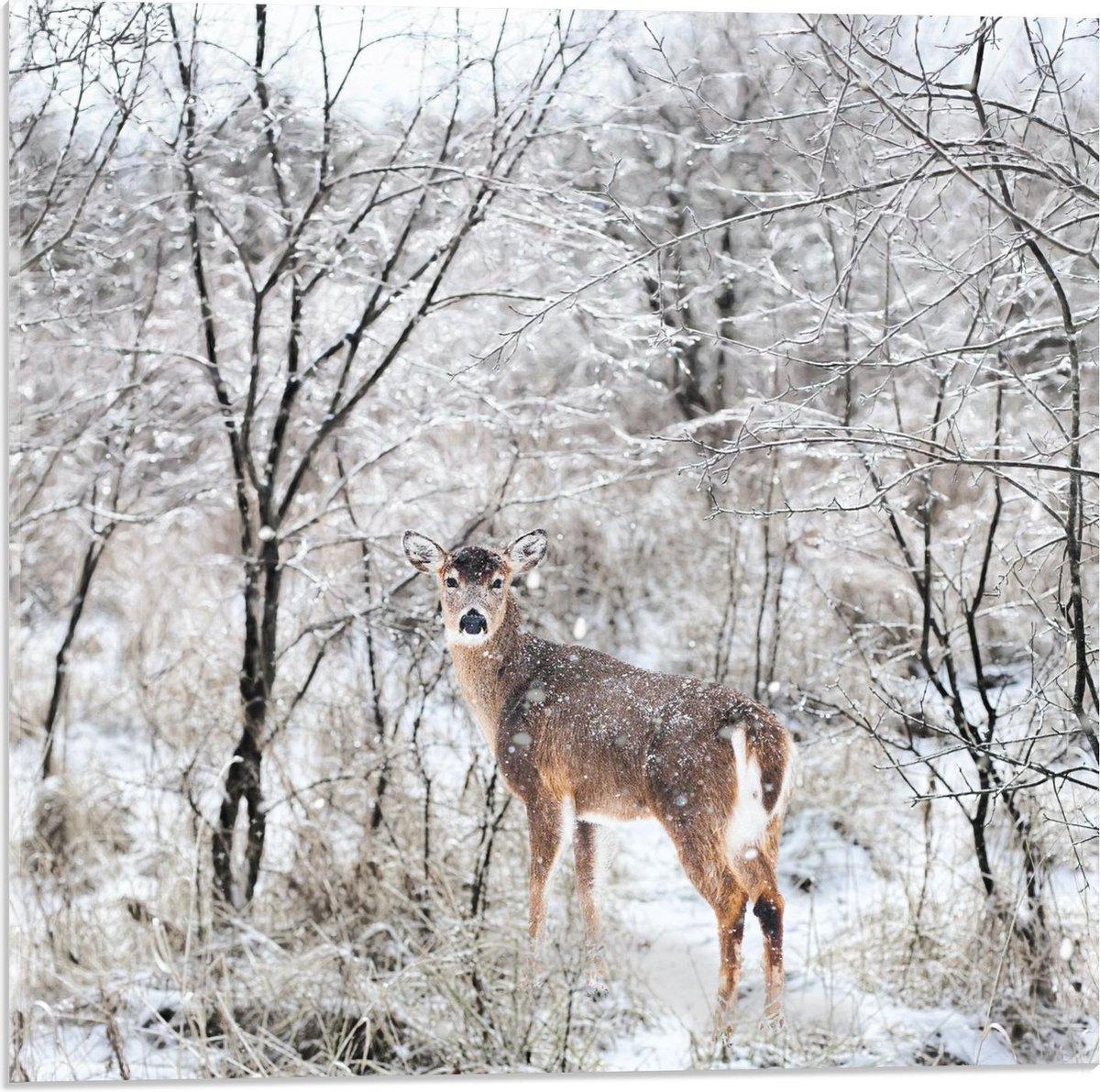Plexiglas - Opkijkend Hert in de Sneeuw - 50x50cm Foto op Plexiglas (Met Ophangsysteem)