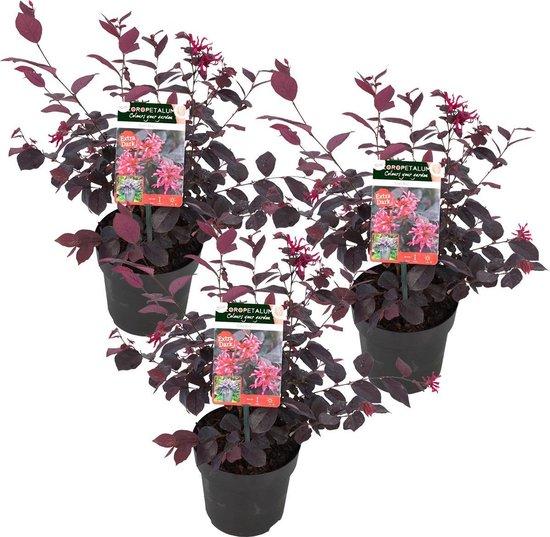 Heksenstruik per 3 stuks | Loropetalum 'Ever Red' - Buitenplant in kwekerspot ⌀13 cm - ↕25-30 cm