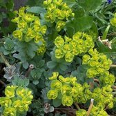 6 x Euphorbia Myrsinites - Wolfsmelk pot 9x9cm