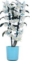 Orchidee van Botanicly – Bamboe Orchidee incl. sierpot blauw als set – Hoogte: 50 cm, 2 takken, wit-blauwe bloemen – Dendrobium Make Upz Blue