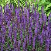 6 x Salvia Nemorosa 'Ostfriesland' - Salie pot 9x9cm