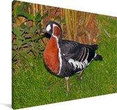 Roodhalsgans in een grasveld Canvas 90x60 cm - Foto print op Canvas schilderij (Wanddecoratie woonkamer / slaapkamer)