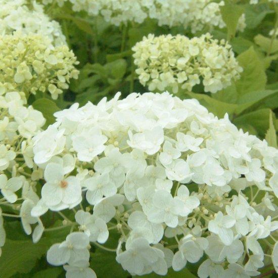 3 x Hydrangea arborescens 'Annabelle' - Hortensia 20-25 cm