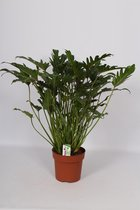 Philodendron Xanadu 80cm