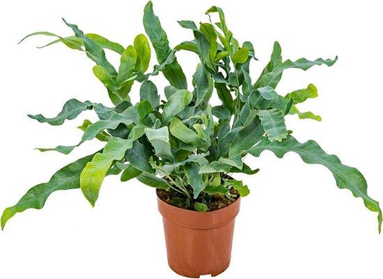 Blauwvaren | Phlebodium per stuk - Luchtzuiverende kamerplant in kwekerspot ⌀12 cm - ↕30 cm