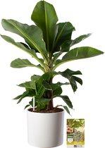 Pokon® Bananenplant incl. watermeter en voeding - in Mica Era Pot Wit - hoogte ↕80cm