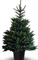 Kerstboom - Blauwspar - Picea Pungens Glauca - IN POT - 150-175CM