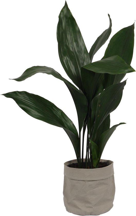 Kamerplant Aspidistra – Kwartjesplant - ± 80cm hoog – 19cm diameter - in grijze katoenen sierzak
