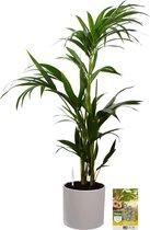 Pokon® Kentia Palm incl. watermeter en voeding - in Mica Era Pot Wit - hoogte ↕90 cm