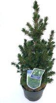 Kerstboompje Picea glauca 'Conica' - 60 cm hoog - potmaat 19 cm - 2 stuks