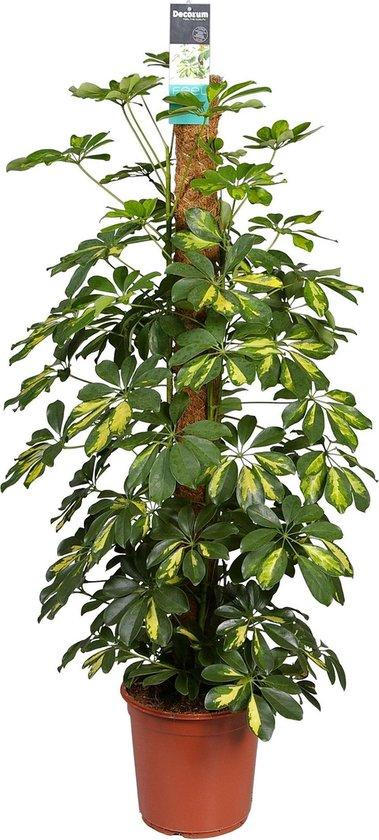 Schefflera Gold Capella | vingerplant | vingerboom↑ 90-80cm - Ø 19cm