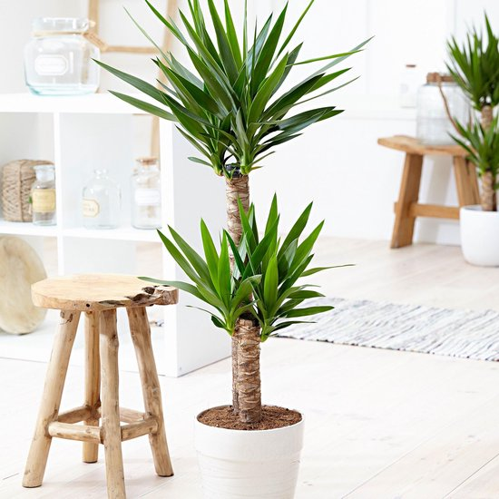 Yucca 'Elephantipes' - Palmlelie 2 stammen - ↑ 80-85cm - Ø 17cm