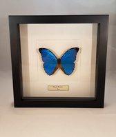 Opgezette vlinder in lijst - Morpho menelaus