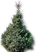 Echte kerstboom Picea Omorika 125 - 150 in pot