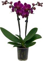 ZynesFlora.nl | Phalaenopsis - Orchidee - Ø 9cm - ↕ Hoogte: 35-40 cm - Paars - Kamerplant