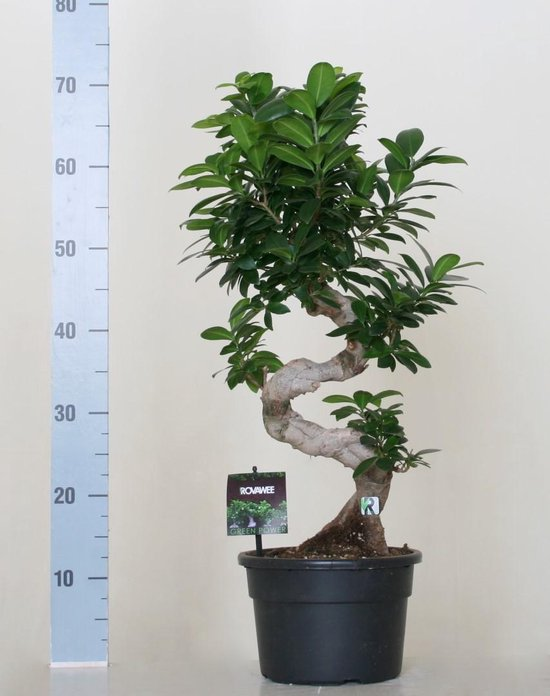 Ficus microcarpa ginseng bonsai S-model 70cm – Kamerplant Bektas Plants