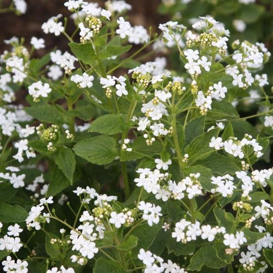 3 x Brunnera Macrophylla 'Betty Bowring' - Kaaps-Vergeet-Me-Nietje pot 9x9cm