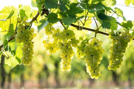 Vitis 'Himrod' (2L) - Zeer lekkere PITLOZE en zoete witte druif