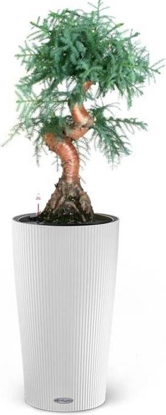 Bonsai Araucaria in zelfwatergevende pot Wit