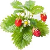 Emsa Click&Grow wilde aardbeien Samen Smart Garden pak van 3