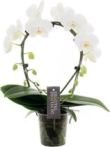 Mirror Miracle Orchidee Cadeau
