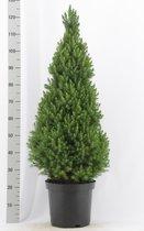 Kerstboom - Picea glauca 'Conica'; Totale hoogte ca 100 cm | A1- Kwaliteit