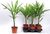 Winterharde palmbomen - Trachycarpus Fortunei - waaierpalm-biologische gekweekt