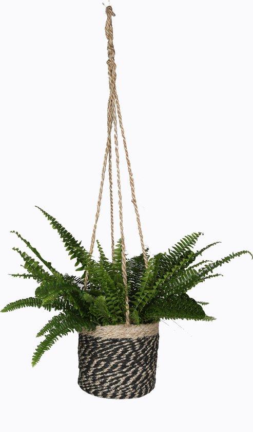 Kamerplant - Krulvaren Nephrolepis - ↑ 40cm - in hangmand