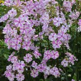 6 x Phlox 'Natascha' - Vlambloem pot 9x9cm