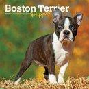 Boston Terrier Puppies 2020 Mini 7x7