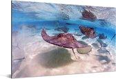 Pijlstaartroggen en vissen in de Caraïbische zee bij de Grand Cayman Aluminium 180x120 cm - Foto print op Aluminium (metaal wanddecoratie) XXL / Groot formaat!