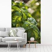 Het zonlicht schijnt over de basilicumbladeren fotobehang vinyl breedte 260 cm x hoogte 400 cm - Foto print op behang (in 7 formaten beschikbaar)
