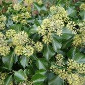 Hedera Colchica 'Arborescens' - Struikklimop 30-40 cm in pot