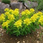 6 x Euphorbia Polychroma - Kleurige Wolfsmelk pot 9x9cm