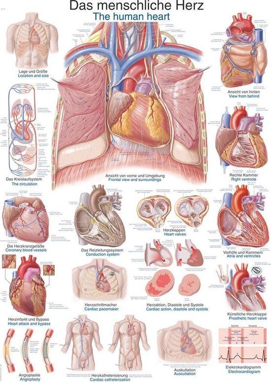 Nieuw bol.com | Het menselijk lichaam - anatomie poster hart (Duits CM-88